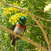 Gif of a Double collared sunbird