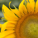 Sunflower by jnorthington
