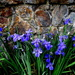 Many Iris in the lake   No 2