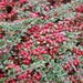 A Full Frame of Cotoneaster