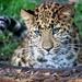 Up Close Leopard Cub