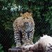 Leopard Cub On A Tree
