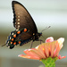 Pipevine Swallowtail [Filler]