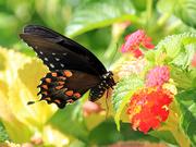 21st Jul 2018 - Spicebush Swallowtail