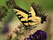 24th Jul 2018 - Eastern Tiger Swallowtail