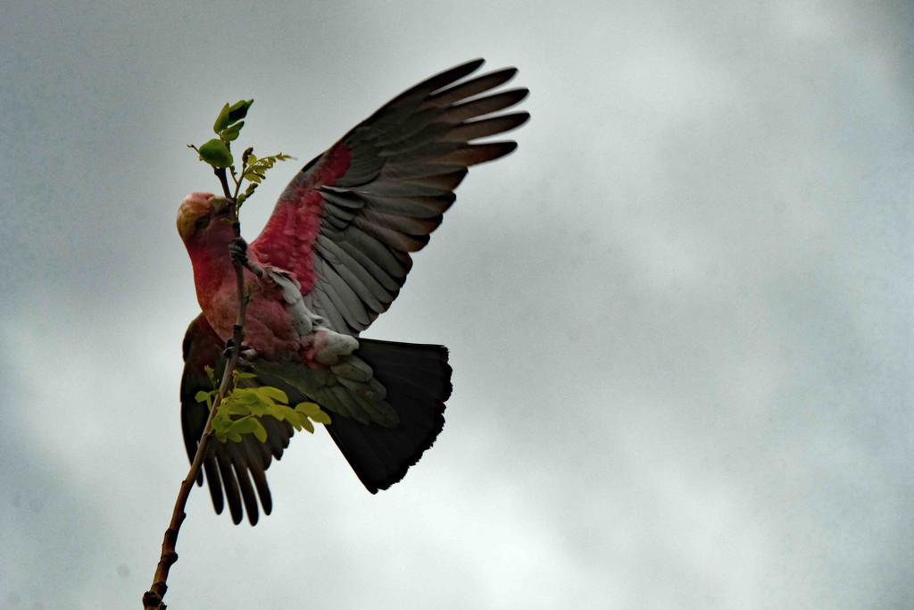 Pink galah stealing new leaf buds by maureenpp