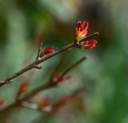 12th Oct 2018 - red buds