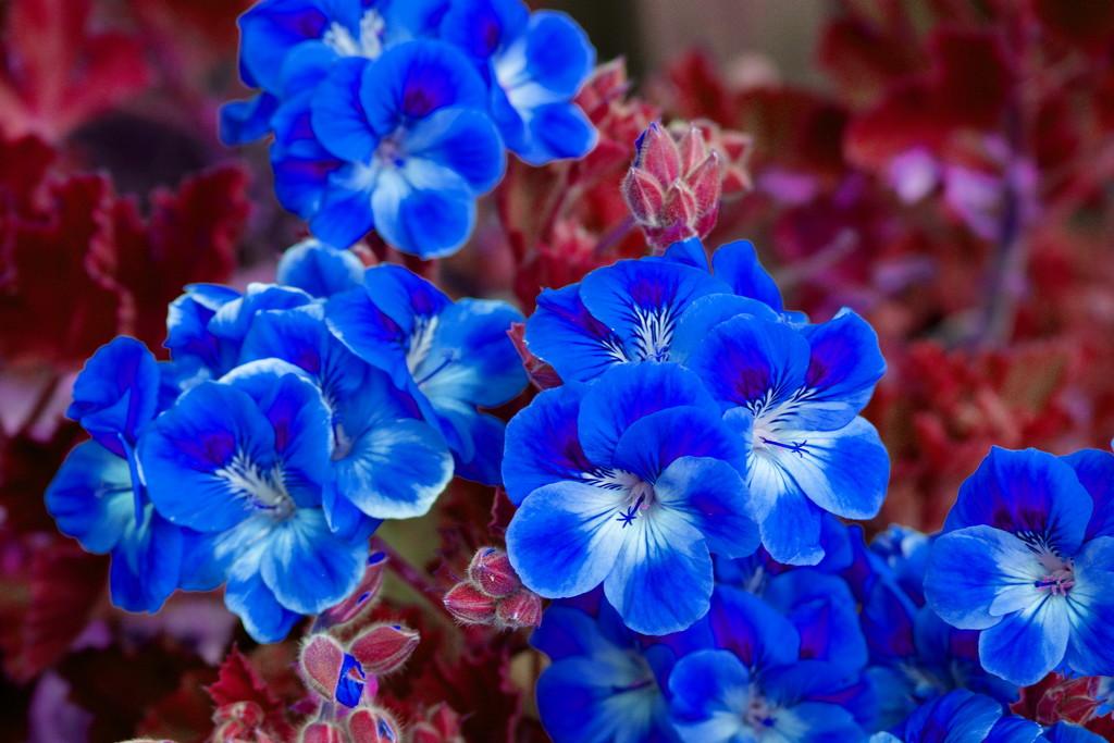 Blue Flowers by kgolab