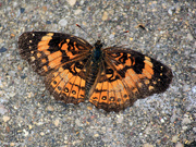 23rd Jul 2018 - The upper side of Silvery Checkerspots [Filler]