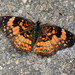 The upper side of Silvery Checkerspots [Filler]
