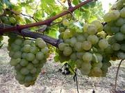 26th Sep 2018 - Wine Grapes
