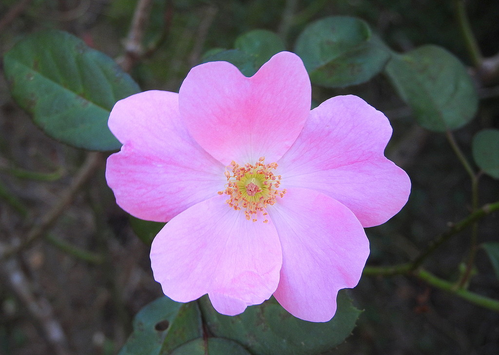 Pretty Rose by homeschoolmom
