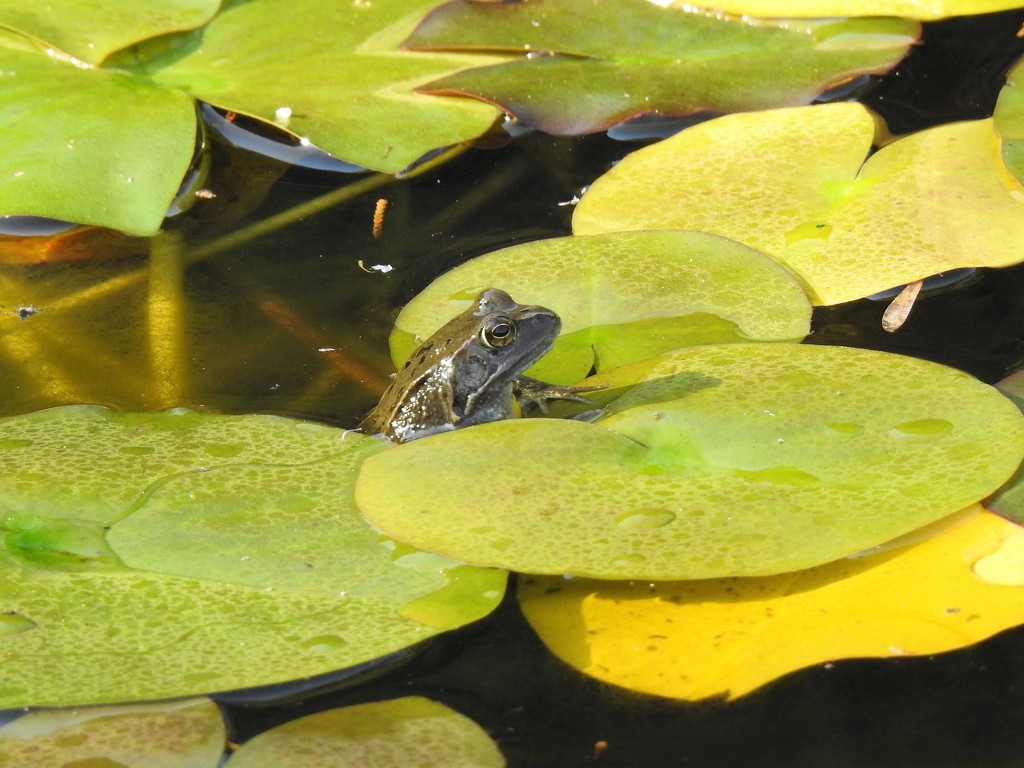Frog Among the Lily Pads by susiemc