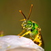 2 - Green metallic Sweat Bee by teriyakih