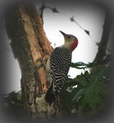 10th Oct 2018 - Red bellied woodpecker.