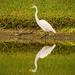 Egret and Reflections!