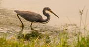10th Oct 2018 - Tri-colored Heron!