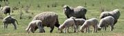 11th Oct 2018 - Sheep