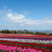 tulip farm by ulla