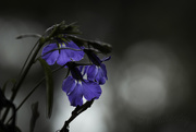 "11th Oct 2018 - ""In joy or sadness flowers are our constant friends"".  Okakura Kakuz_"