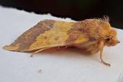 11th Oct 2018 - Dull & boring moth