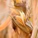 Field of corn!