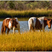 Assateague horses