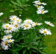 11th Oct 2018 - My shasta daisies are blooming.