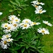My shasta daisies are blooming.