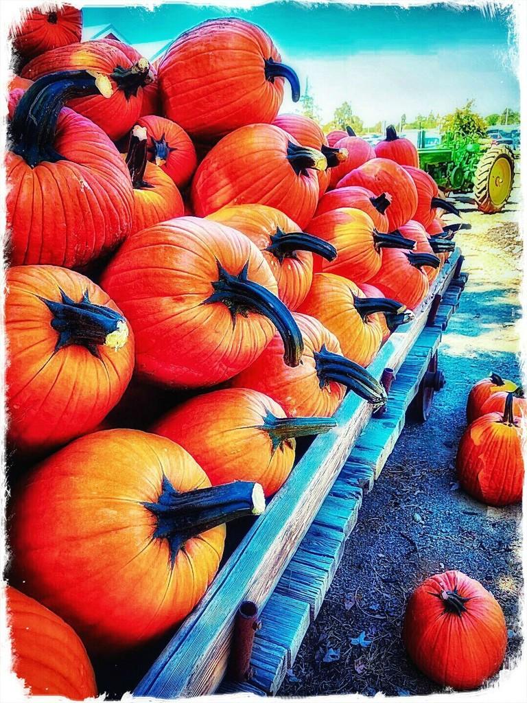 Pumpkin Pumpkins by gardenfolk