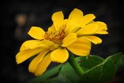 10th Oct 2018 - Yellow flower