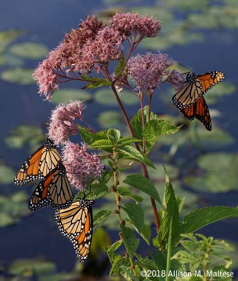 Monarch Cluster by falcon11