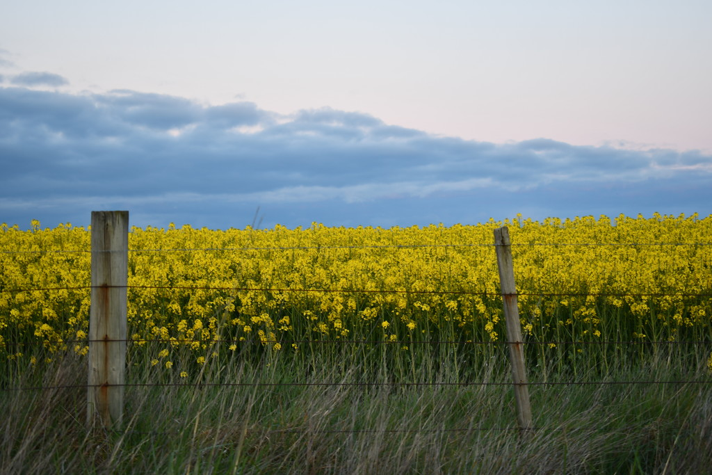 Field of Gold by kgolab