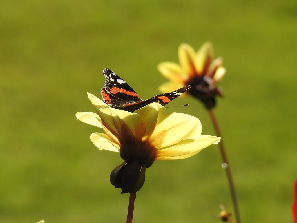 Very Late Red Admiral  by susiemc