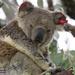 love a soggy koala