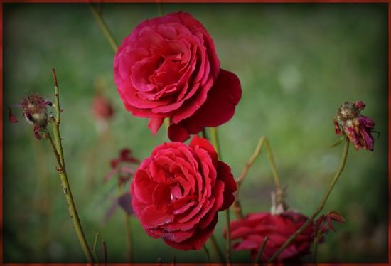red roses by gijsje