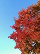 12th Oct 2018 - Red Tree. Blue Sky.