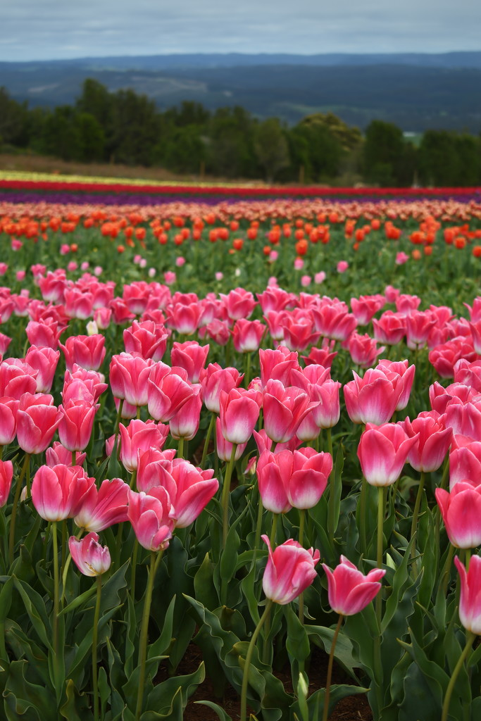 Tulip Farm - Table Cape,Tasmania by kgolab