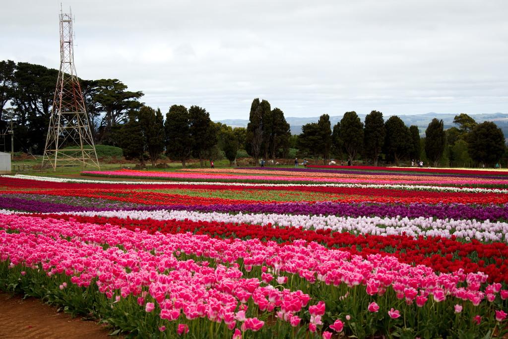 Tulip Farm, Table Cape, Tasmania by kgolab