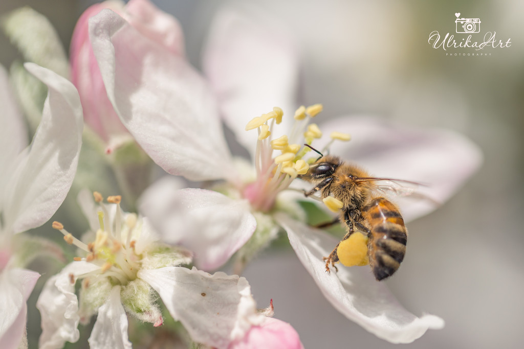 bee collecting pollen by ulla
