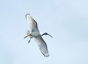 13th Oct 2018 - Sacred ibis in flight