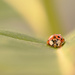 Asian Lady Beetle!