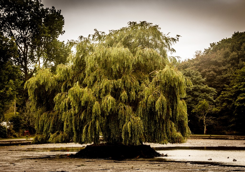 If I was a willow....... by swillinbillyflynn