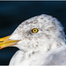 gull up close