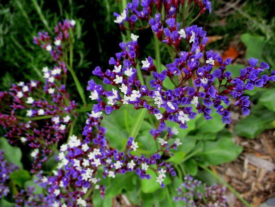 Statis  flowers  Roma Street Gardens by 777margo
