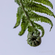 14th Oct 2018 - Frond