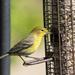 New bird  - female or immature Pine Warbler