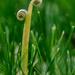 Dandelion curls