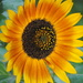 Orange October 2018 - Indian Sunflower