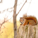Little red squirrel!